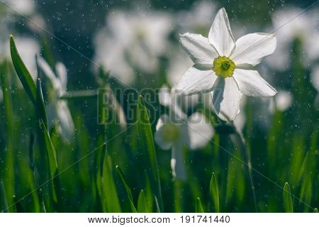 White daffodils in the rain on a beautiful background. Daffodils outdoors. selective focus.