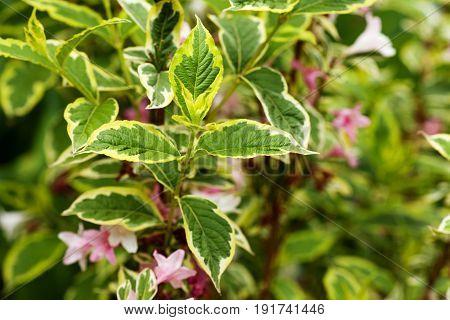 Weigela 'Nana variegata' in bloom in the garden. Selective focus.