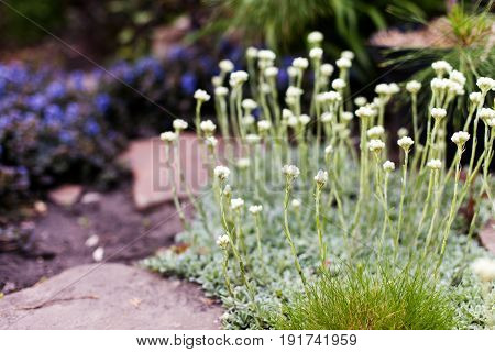 Male mountain everlasting or catsfoot white Antennaria dioica in bloom in the garden