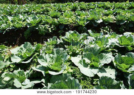 Green cabbages farm, Cabbage garden, Fresh cabbages
