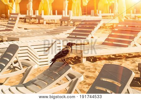 large bird of a crow resting on a beach chaise longue in the early summer morning