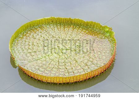 Victoria lotus leaf on the surface of daylight