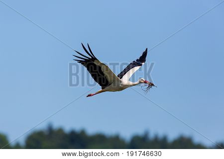 White Stork (ciconia Ciconia) Flying In Blue Sky With Nesting Material