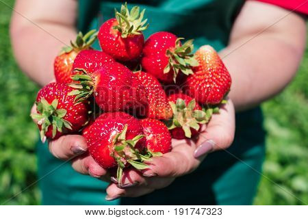 Fresh Strawberries Closeup. Woman Holding Strawberry In Hands.woman's Hands With Fresh Strawberries