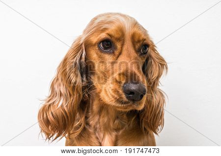 English Cocker Spaniel Dog Isolated On White