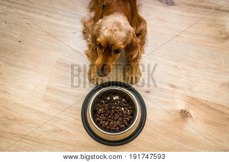Hungry Cocker Spaniel with bowl of granules - feeding a dog