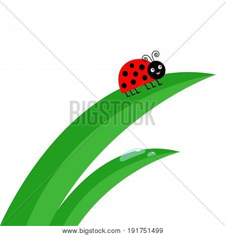 Fresh green grass stalk close up. Water drop set. Ladybug Ladybird insect. Morning drop set. Cute cartoon baby character. Garden natute decoration element Flat design White background. Isolated Vector
