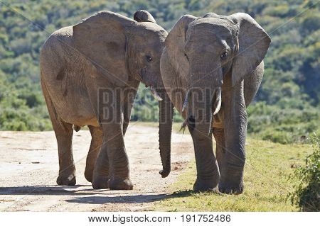 two young elephants walking along a gravel road with grass on either side and thick bush