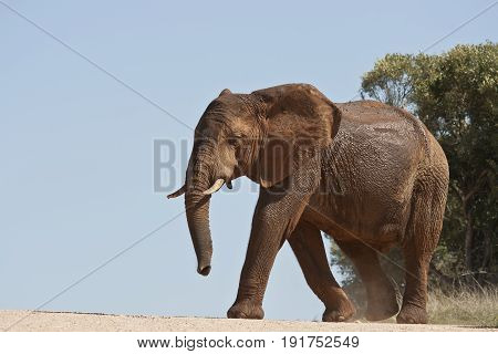 Large elephant crossing a gravel road into some thick bush