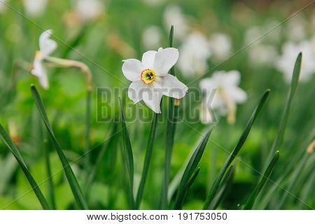 White Daffodil Field