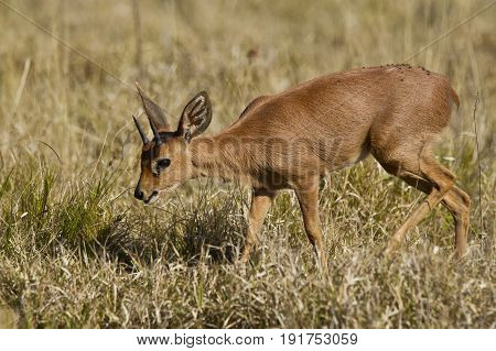 Young duiker antelope walking through short dry grass in the morning sun