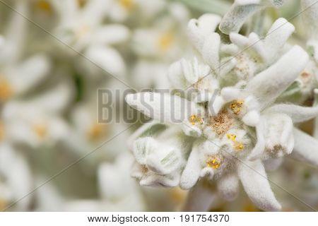 Closeup of a rare edelweiss (leontopodium alpinum) flower