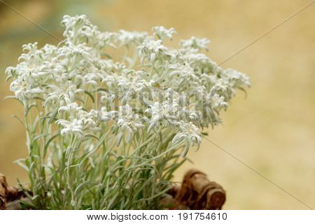Closeup of edelweiss flowers in a woven basket