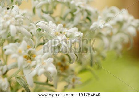 Closeup of edelweiss flowers. Shallow depth of field