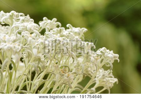 Closeup of edelweiss flowers against blurred green background. Space for text