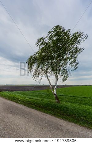 Lonesome Birch Tree In Wind With Street