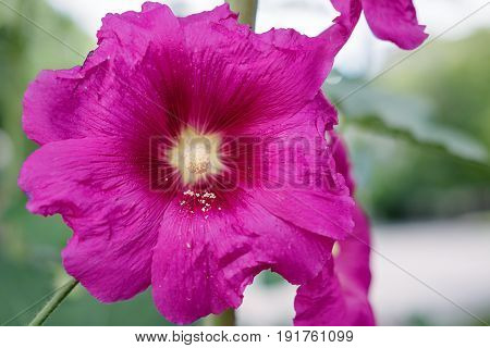 Close up of pink Hollyhock Alcea rosea blossom wild flower plant