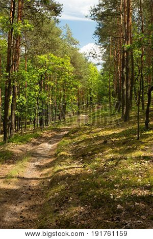 Sandy road curving among pines and oaks in the forest. Beautiful sunny summer day in Poland. Vertical view.