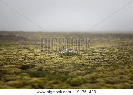 Iceland Empty Moss Field With Lonely Pink Flower In Mist. Foggy Weather In Icelandic Thick Moss. Fie