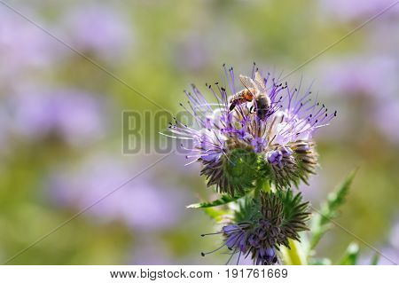 honey bee on flower. Macro photography. Flower of phacelia tanacetifolia or purple tansy with bee closeup. Honey plant. Bee collects nectar