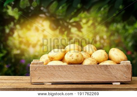 fresh new potatoes in wooden crate on table with sunshine blurred natural background. Potatoes in box outdoors