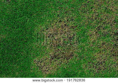 Pests and disease cause amount of damage to green lawns,lawn in bad condition and need maintaining