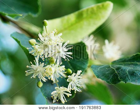 Linden tree flowers on tree branches closeup
