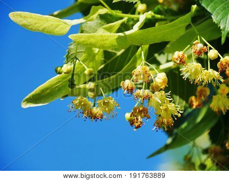 Linden tree flowers on tree branches against the blue sky