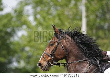 Head shot of a beautiful purebred show jumper horse in action against green natural background