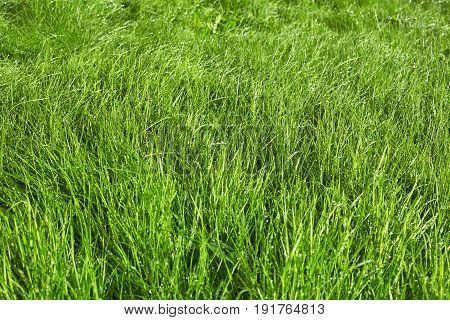 Green grass background after rain. Natural texture