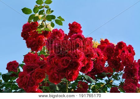 Red climbing rose bush flowers on arching branches