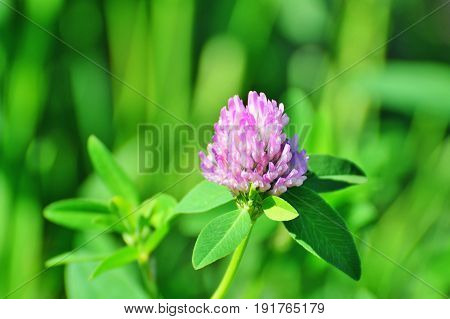 Red clover flower closeup (Trifolium pratense) outdoors