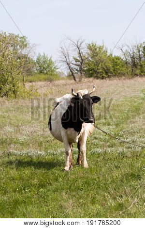 Black and white cow grazes on a meadow in the village.