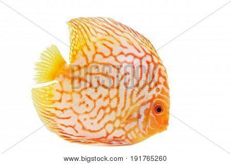 orange fish on the white background at thailand