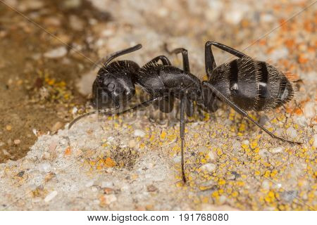 Ant Camponotus Sp Drinking From The Ground