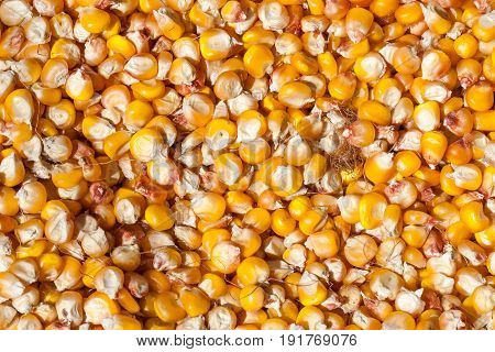 Dried corn as a background. Top view.