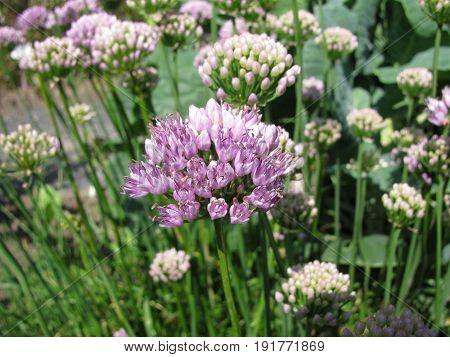 Ornamental onion with flowers, Allium senescens, in garden