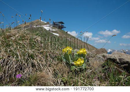 Blooming Auriculas At Fellhorn Mountain Peak, Allgau Alps