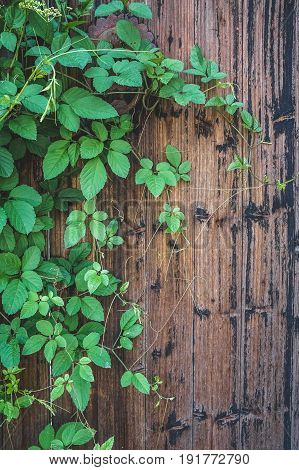 green plant on wooden door of traditional house in ancient village of AnhuiChina.