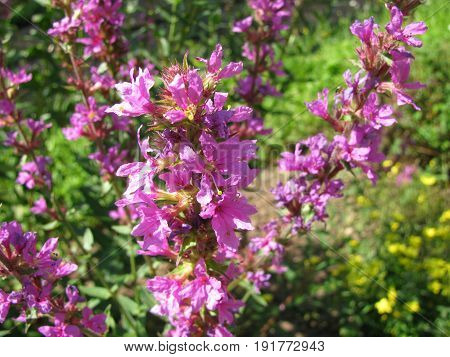 Purple loosestrife with flowers, Lythrum salicaria, in garden