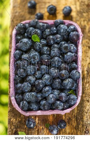 Punnet with freshly picked blueberries in the forest