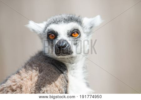 Ring tailed Madagascar lemur at smooth background