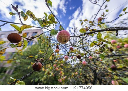 Apple tree in abandoned military town called Chernobyl-2 in Chernobyl Exclusion Zone Ukraine