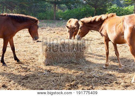 Many horses are hungry for morning hay horse feed.