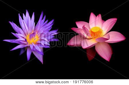 Lotus Flowers symbol of fertility prosperity beauty divinity and life