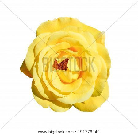 Yellow rose isolated on white background. Fully open gentle tea rose flower head isolated on white background. Tender yellow rose head close up.