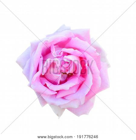 Pink rose isolated on white background. Fully open gentle pink rose flower head isolated on white background. Tender violet rose head close up.
