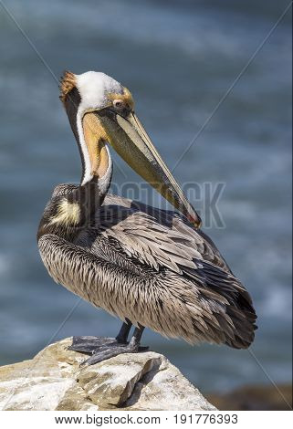Brown Pelican Preening Its Feathers On A Rock Overlooking The Pacific Ocean