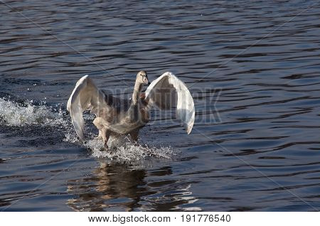Shot of the flying mute swan - splashdown
