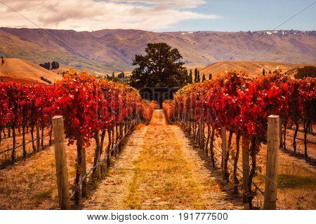 Autumn landscape view of vineyard rows with the tree Otago region South island of New Zealand